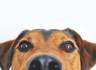 מבצע לעיקור וסירוס כלבים בעכו