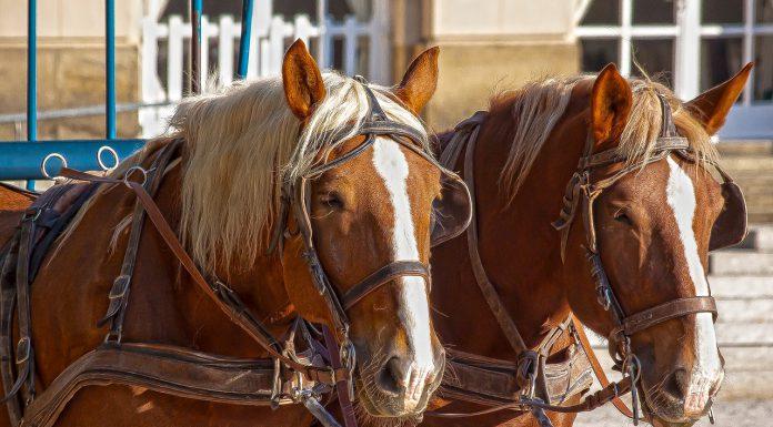 פורסם מכרז להפעלת כרכרות סוסים במסלול תיירותי בעכו